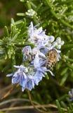el detalle de una abeja encendido remata una flor del basilico Fotografía de archivo