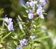 el detalle de una abeja encendido remata una flor del romero Imagen de archivo libre de regalías