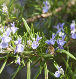 el detalle de una abeja encendido remata una flor del romero Foto de archivo