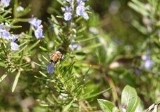 el detalle de una abeja encendido remata una flor del romero Fotografía de archivo libre de regalías
