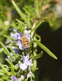 el detalle de una abeja encendido remata una flor del romero Fotos de archivo libres de regalías