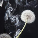 El detalle del último diente de león de la floración con humo en fondo negro de la falta de definición Fotos de archivo