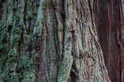 El detalle del liquen cubrió la corteza de un árbol de cedro Imagen de archivo libre de regalías