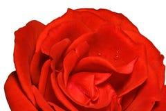 El detalle del rojo se levantó Fotografía de archivo libre de regalías