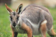 wallaby de roca Amarillo-con base Fotos de archivo