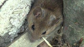 El detalle salvaje del musculus hecho en casa de Mus del ratón en un cortijo en un pavimento, se considera ser un parásito, tiene almacen de video