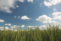 El detalle verde del campo con el cielo azul se nubla el backgrund Foto de archivo libre de regalías