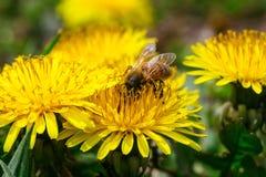 El diente de león amarillo florece brillantemente en prado verde en campo Foto de archivo