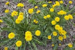 El diente de león amarillo florece con las hojas en hierba verde Fotos de archivo