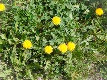 El diente de león amarillo florece con las hojas y los tréboles verdes Fotografía de archivo libre de regalías