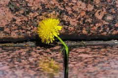 El diente de león amarillo floreciente crece en una grieta entre las piedras del granito Cierre para arriba fotos de archivo