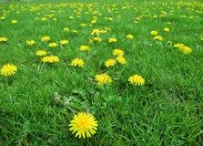 El diente de león bastante amarillo brillante florece en estiramiento limpio de la hierba verde en la primavera, Vancouver, abril Fotografía de archivo