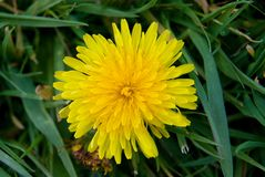 El diente de león en la hierba, el amarillo y la primavera florecen Imágenes de archivo libres de regalías