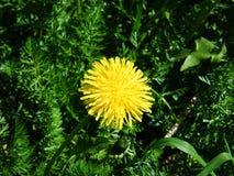 El diente de león entre hierba tiró con un filtro verde fotografía de archivo