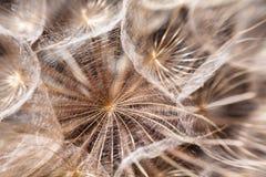 El diente de león siembra macro Imagen de archivo libre de regalías