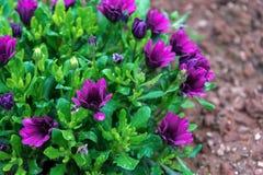 El dimorphoteca púrpura florece la margarita africana después de lluvia Foco seleccionado Fotografía de archivo