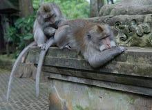 El dinero adulto prepara otro mono adulto imagen de archivo