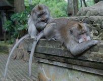 El dinero adulto prepara otro mono adulto en santuario del mono fotos de archivo