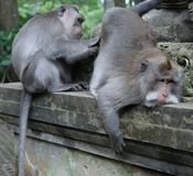 El dinero adulto prepara y examina otro mono adulto imagen de archivo libre de regalías