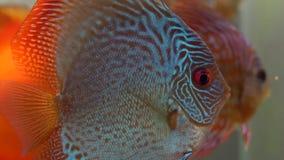 El disco rojo y amarillo azul del copete pesca la natación en acuario de agua dulce en las burbujas blury fondo, del lado metrajes