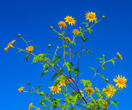 El diversifolia amarillo de Tithonia florece en el bosque tropical de Tailandia Fotos de archivo libres de regalías