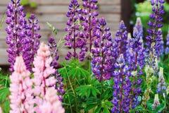El diverso lupine multicolor florece la floración en jardín del verano imagen de archivo