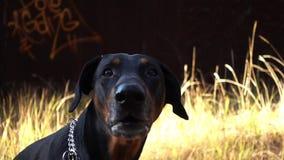 El Doberman del perro raspa