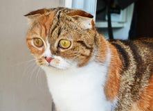 El doblez del escocés del gatito Foto de archivo libre de regalías