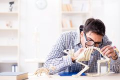 El doctor del estudiante que estudia el esqueleto animal Fotos de archivo