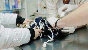 El doctor examina el gato después de la operación Cuidado animal en la clínica almacen de video