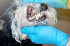 El doctor examina los dientes de un perro imagen de archivo