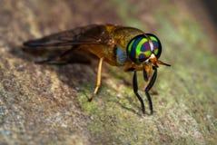 El doctor Fly Macro Fotografía de archivo