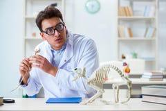 El doctor loco divertido del estudiante que estudia el esqueleto animal Fotografía de archivo