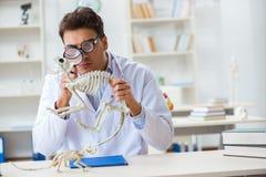 El doctor loco divertido del estudiante que estudia el esqueleto animal Foto de archivo libre de regalías