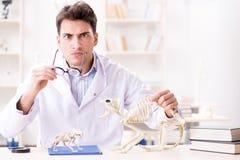 El doctor loco divertido del estudiante que estudia el esqueleto animal Imagenes de archivo
