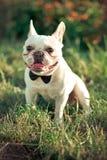 El dogo americano francés-inglés de lujo con los oídos grandes enormes y los caballeros del lazo de la piel blanca de la piel y e Foto de archivo libre de regalías