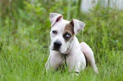 El dogo americano mezcló el perrito de la raza con el ojo azul Foto de archivo libre de regalías