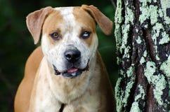 El dogo americano mezcló la raza con el ojo azul de la mancha Fotos de archivo libres de regalías