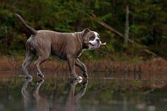 El dogo camina en un lago congelado del bosque fotos de archivo libres de regalías