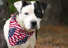 El dogo de Pitbull del americano mezcló el perro de la raza con el pañuelo de la bandera americana Fotos de archivo libres de regalías