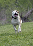 El dogo del boxeador mezcló el perro de la raza que corría en un campo Imagenes de archivo