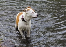 El dogo del boxeador mezcló la natación del perro de la raza en el lago Foto de archivo libre de regalías