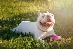 El dogo francés con las caras sonrientes coloca en hierba Perro feliz po fotos de archivo