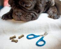 El dogo francés está en la tabla, alista para el recortes del clavo cuidado animal, concepto de la manicura del perro imagen de archivo
