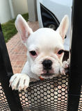 El dogo francés quiere a jugar en parque Fotografía de archivo libre de regalías