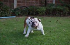 El dogo inglés blanco amenaza Fotografía de archivo libre de regalías