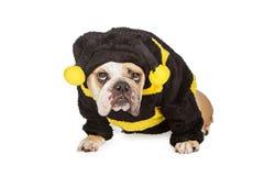 El dogo que lleva Halloween manosea el traje de la abeja Fotografía de archivo