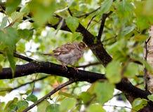 El domesticus joven del transeúnte del gorrión de casa se encaramó en una rama de árbol después de lluvia Imágenes de archivo libres de regalías