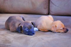 El dormir adorable de los perritos Imagenes de archivo