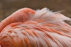 El dormir adulto del flamenco en plumas Foto de archivo